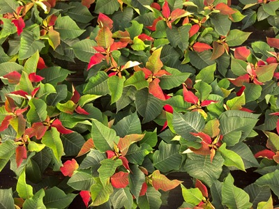 11-02-12-poinsettias-2