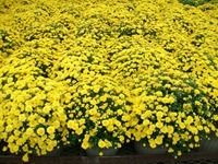 12in-mum-yellow-9-12-14_thumb.jpg