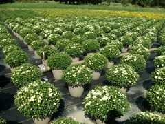 12in white mums 1 9-5-14