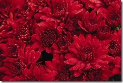 mum-garden-red1