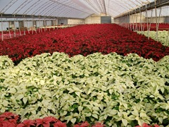 2010-poinsettias52