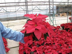 2010-poinsettias71