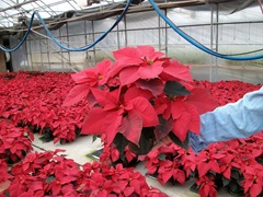 2010-poinsettias72