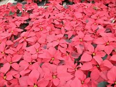 2010-poinsettias73