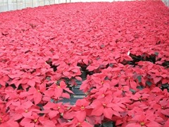 2010-poinsettias75