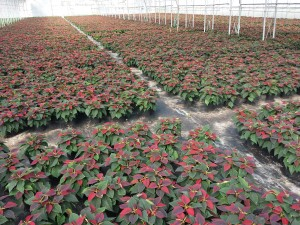 6in red poinsettia 20151028_2