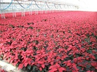 6in-red-poinsettias-2-11-20-14_thumb.jpg
