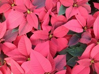 6in red poinsettias 3 11-20-14