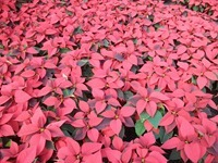 6in-red-poinsettias-4-11-20-14_thumb.jpg