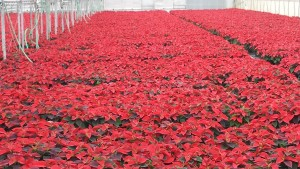 6in red poinsettias greenhouse 11.11.15 1