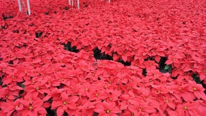 6in red poinsettias greenhouse 11.25.15 6