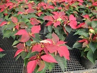 Poinsettias 10-31-14 (5)
