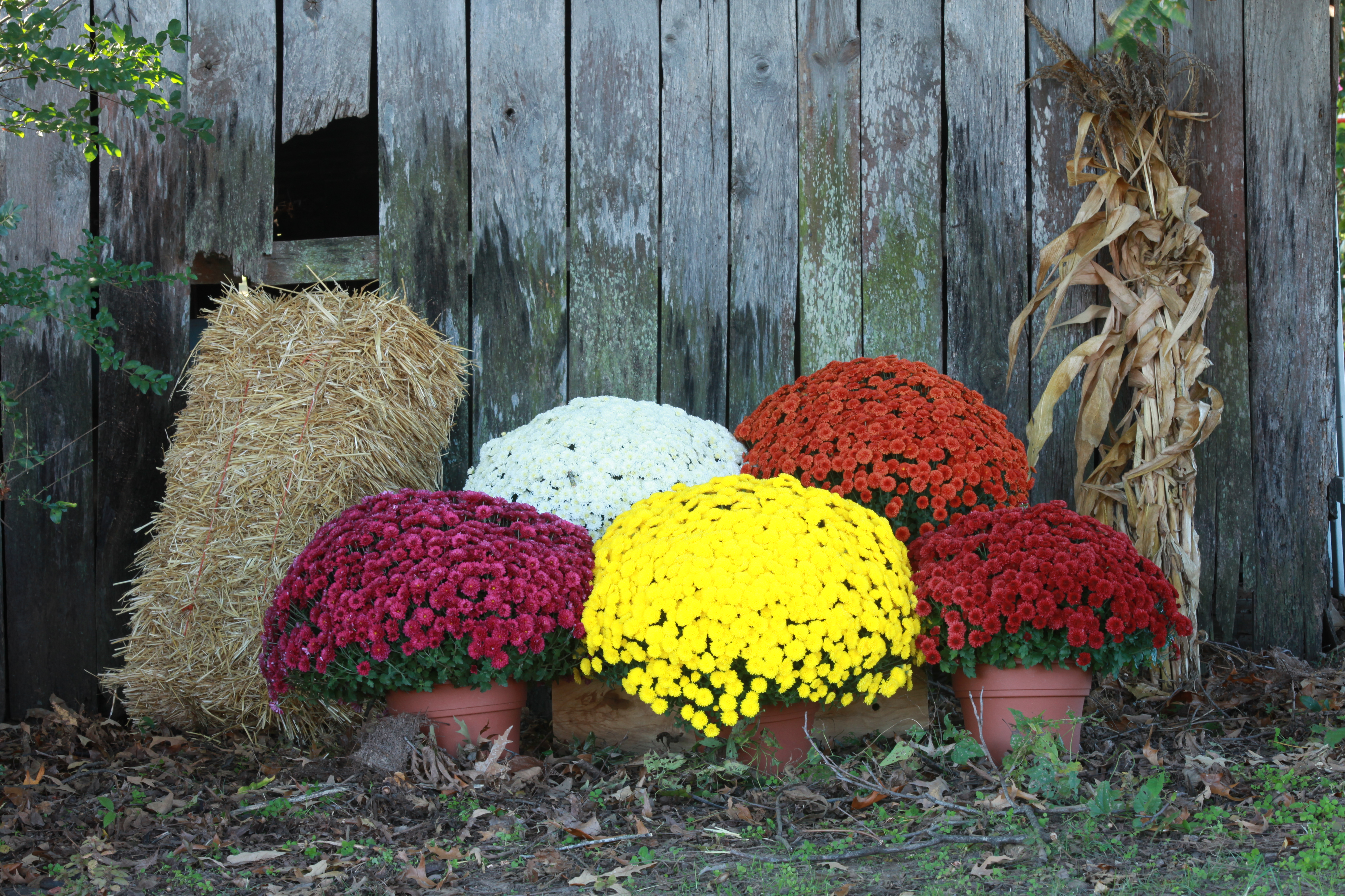 96 How To Display Your Mums This Fall Home Garden September 2018