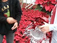 packing-poinsettias-326