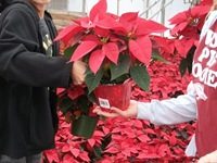 packing-poinsettias-327