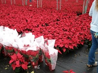 packing-poinsettias-331