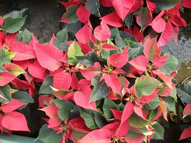 wholesale poinsettias plants for profits