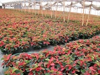 poinsettias-1