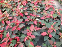 poinsettias20