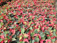 poinsettias22