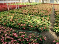 poinsettias23