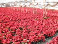 poinsettias27
