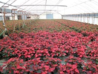 poinsettias-7
