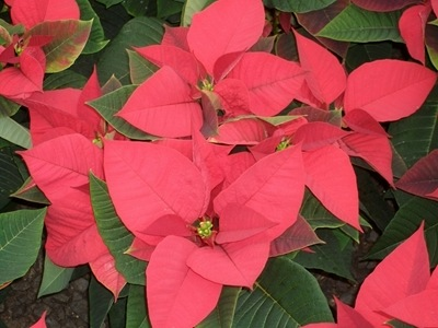 poinsettias-92