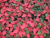 poinsettias-9