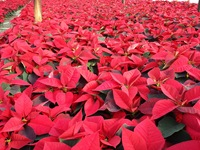 poinsettias nov 20 2013 01