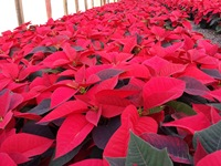 poinsettias nov 20 2013 07