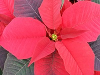 poinsettias nov 20 2013 14
