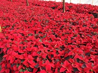 poinsettias nov 20 2013 21