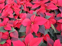 poinsettias nov 20 2013 56